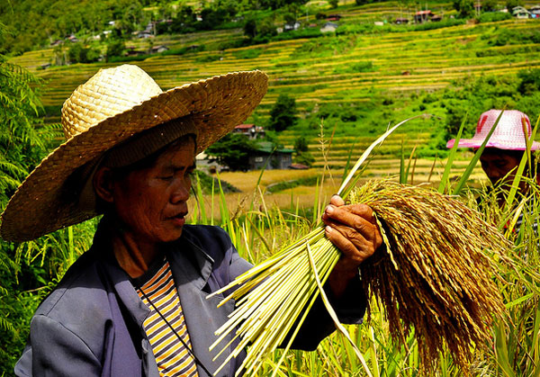 philippine industrial crops Philippines - economy sectors philippine farms produce food crops for domestic consumption and industrial production is centered on the processing and.
